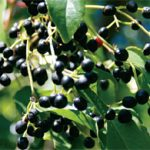 A 'Berry' Healthy Immune Ingredient